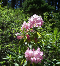 Rhodies!  We really ARE in Oregon.