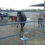 may18_horsies